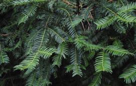 Cephalotaxus harringtonii