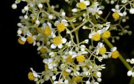 Begonia parviflora by Andreas Kay licensed under CC BY-NC-SA 2.0