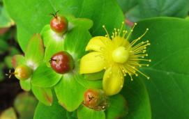 Hypericum androsaemum by Agnieszka Kwiecień licensed under CC BY 3.0