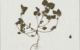 Stinking goosefoot (Chenopodium vulvaria) from MNHN - Museum national d'Histoire naturelle, Paris. Photo licensed under CC BY 4.0