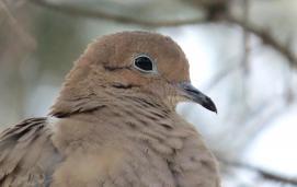 Mourning dove(Zenaida macroura)