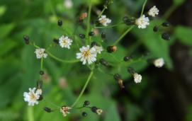 White Hawkweed(Hieracium albiflorum)