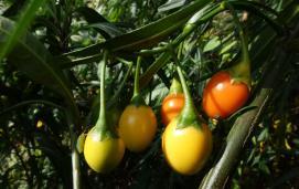 Poroporo/ kangaroo apple (Solanum laciniatum)