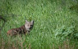 Bobcat(Lynx rufus)