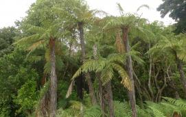 Rough tree fern (Dicksonia squarrosa)