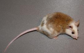 Natal multimammate rat (Mastomys natalensis)