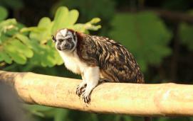 Geoffroy's Tamarin(Saguinus geoffroyi)
