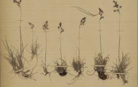 Agrostis alpina