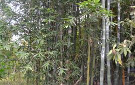 Oldham's bamboo (Bambusa oldhamii)
