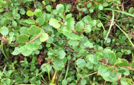 Arctic dwarf birch(Betula nana)