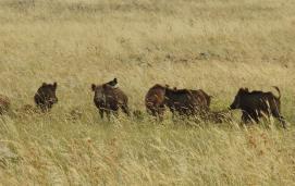 A sounder of wild boar (Sus scrofa)