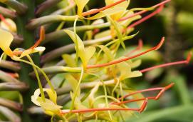 Kahili ginger(Hedychium gardnerianum)
