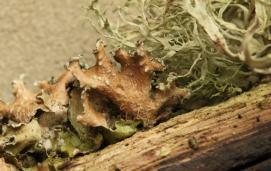 Powdered wrinkle lichen(Tuckermannopsis chlorophylla)