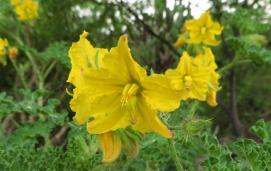 Colorado bur(Solanum rostratum)