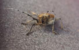 Saperda carcharias, a longhorn beetle
