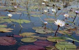 Tiger lotus (Nymphaea lotus)