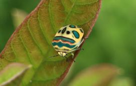 Picasso bug (Sphaerocoris annulus). © 2013 Jeremy Roberts