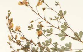 Detail of specimen of pineland wild indigo (Baptisia lecontei), USF Herbarium