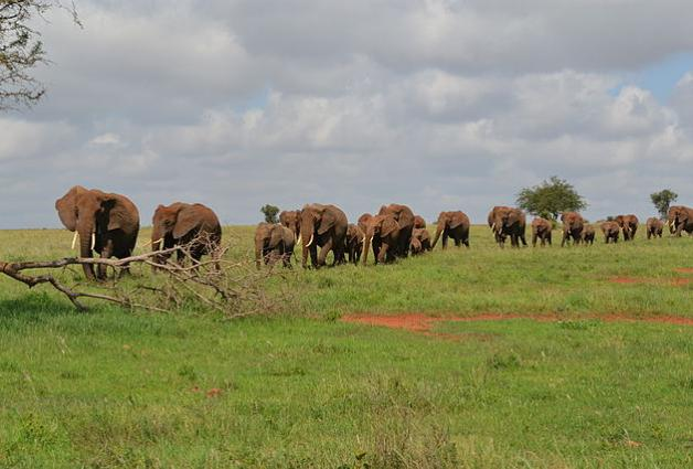 Herd of African bush elephants (Loxondonta africana), Kenya
