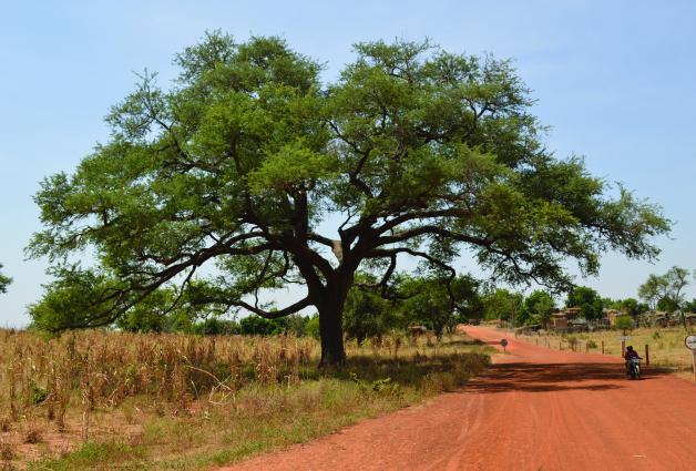 Faidherbia trees can help increase crop yields in Niger