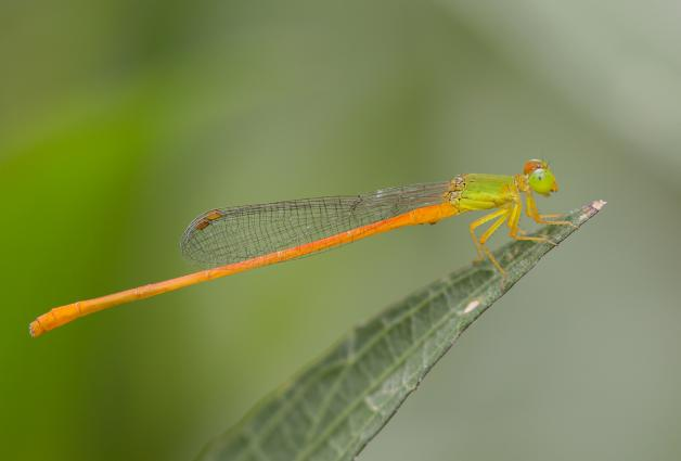 Orange-tailed sprite (Ceriagrion auranticum), recorded in Hué, Viet Nam,from the iNaturalist.org Research-grade dataset. Photo 2016 budak CC BY-NC 4.0.