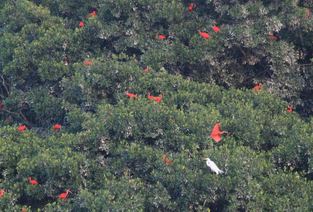 Great egret (Ardea alba) among scarlet ibis (Eudocimus ruber), Caroni Swamp National Park, Trinidad