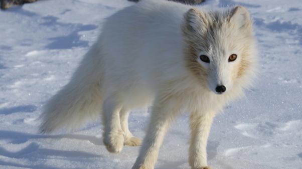 Photo: Arctic Fox (Alopex lagopus). Credit: Algkalv