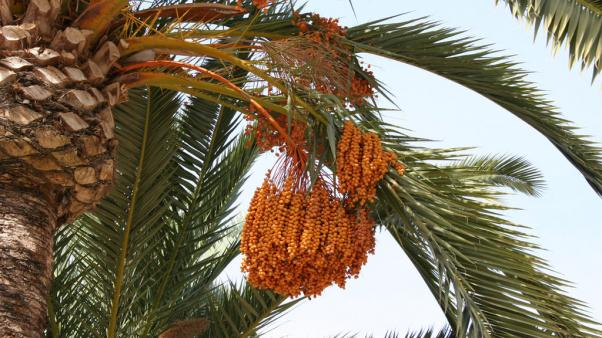 Photo: Date palm (Phoenix dactylifera), Spain. Credit: Seweryn Oikowicz.