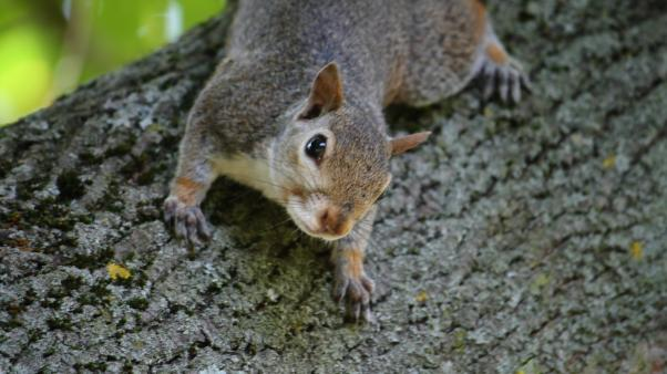 Eastern grey squirrel. By Jed Sheehan. CC BY-NC-ND 2.0