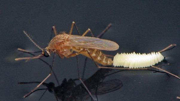 Culex quinquefasciatus