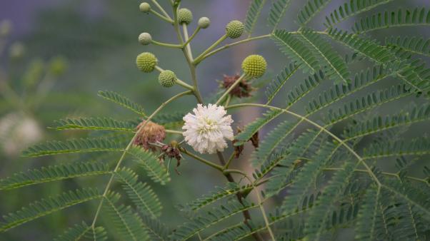 White leadtree(Leucaena leucocephala)