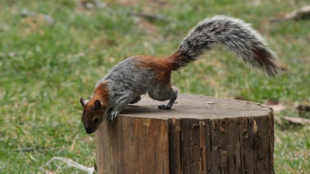 Mexican gray squirrel (Sciurus aureogaster)