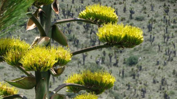 Pulque agave (Agave salmiana)