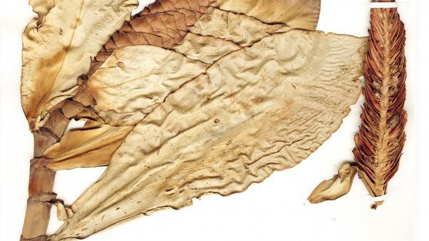 Preserved specimen ofCostus scaber