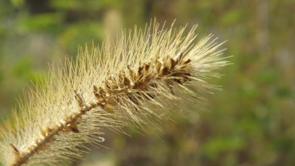 Green bristle grass (Setaria viridis)