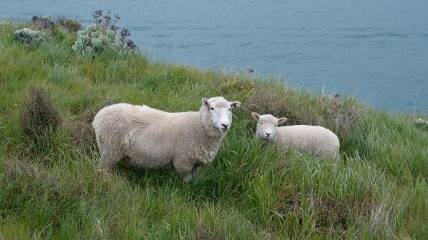 A couple of healthy sheep (Ovis aries)