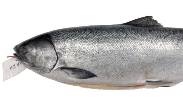 Chinook salmon (Oncorhynchus tshawytscha)