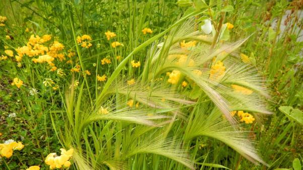 Foxtail Barley(Hordeum jubatum)