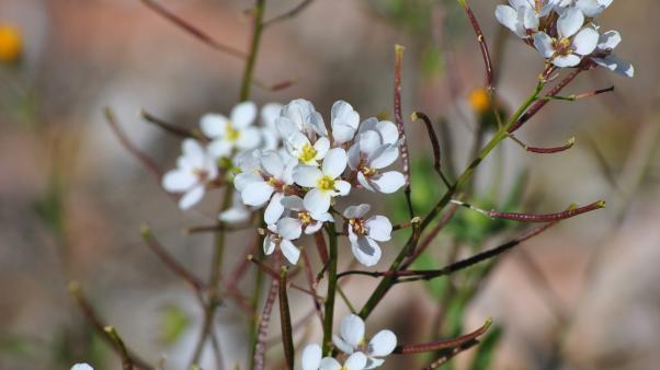 White wallrocket(Diplotaxis erucoides)