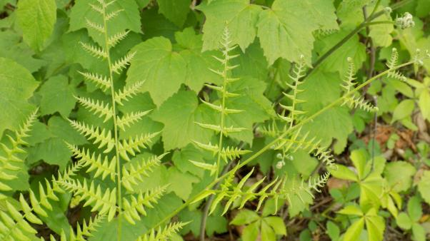 Common Bracken (Pteridium aquilinum)