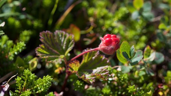 Cloudberry(Rubuschamaemorus)