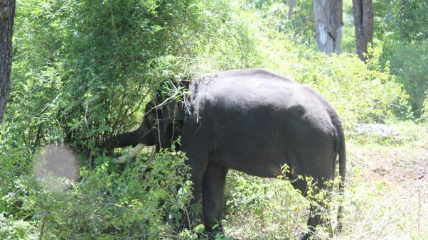 Indian elephant (Elephas maximussubsp.indicus)